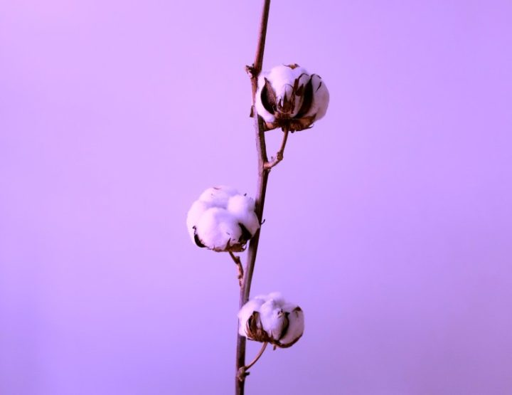 New Sustainable Fashion Development Of Color Cotton Plants